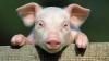 """Novi virus gripe s """"potencijalom pandemije"""" pronađen u Kini kod svinja"""