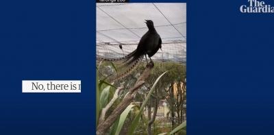 Lirska ptica iz zoološkog vrta Taronga savršeno oponaša plač bebe