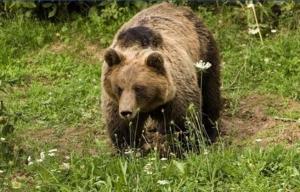 Medvjed napao čovjeka kod Kotor Varoši