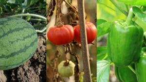 Sedmočlana porodica otrovala se paprikama i lubenicom?
