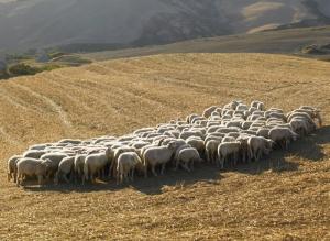 Od više ljubavnika tražila da joj ubiju muža kako bi prodala stado od 250 ovaca