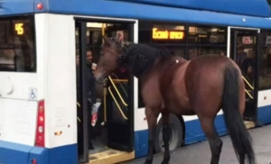 (video) Konj pokušao da uđe u gradski prevoz