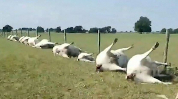 (video) Grom udario u kravu, elektricitet preko ograde ubio cijelo stado