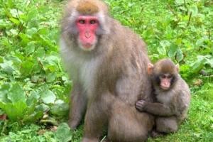 Implantirao ljudske gene u mozak majmuna, tvrdi da su postali pametniji