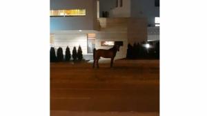 (video) Konj u šetnji ulicama Tuzle